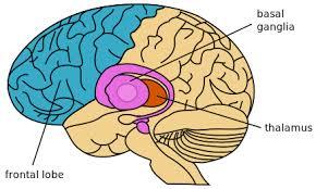 basal ganglion and frontal lobe image